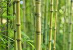 Planter du bambou